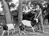 Boy with goats